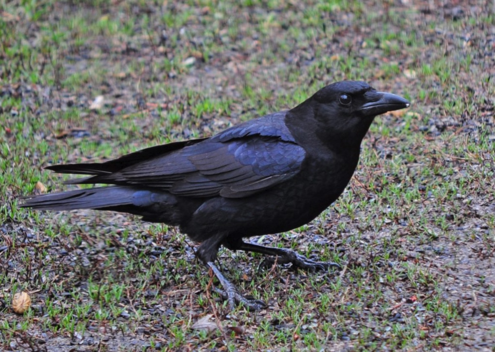 American crow standing on a lawn.