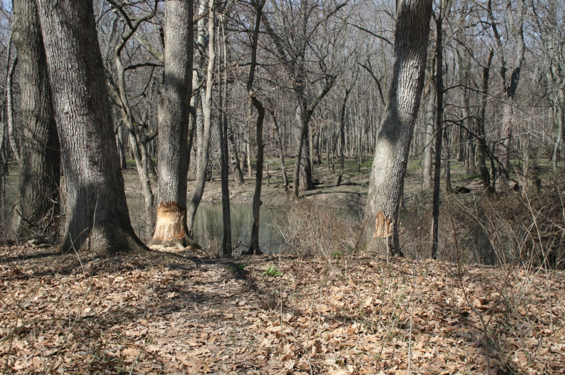 Beavers will work on multiple trees at the same time. Note the different levels of damage on the two large trees.