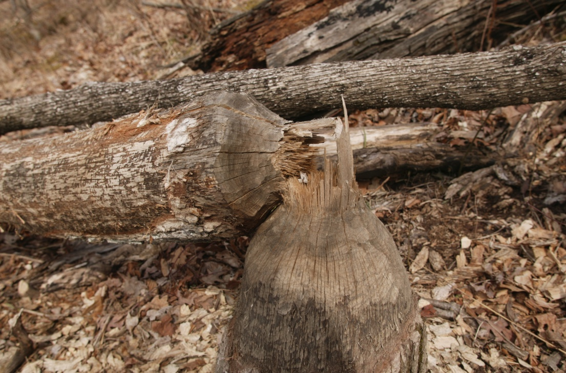 This tree was felled by a beaver.