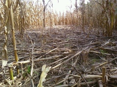 Corn stalks knocked down by feral swine.