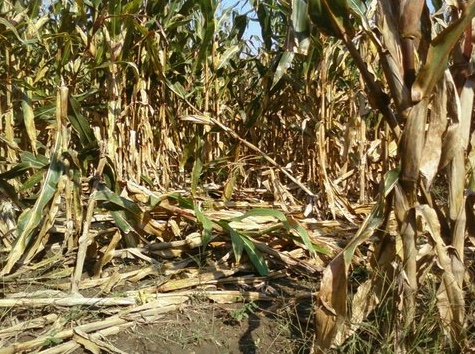 Corn damaged by feral swine. Deer, beaver and raccoons can also cause serious damage to corn fields.