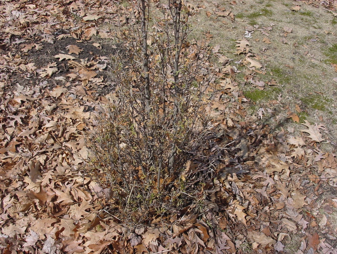 This shrub was severely damaged by deer browsing on it.