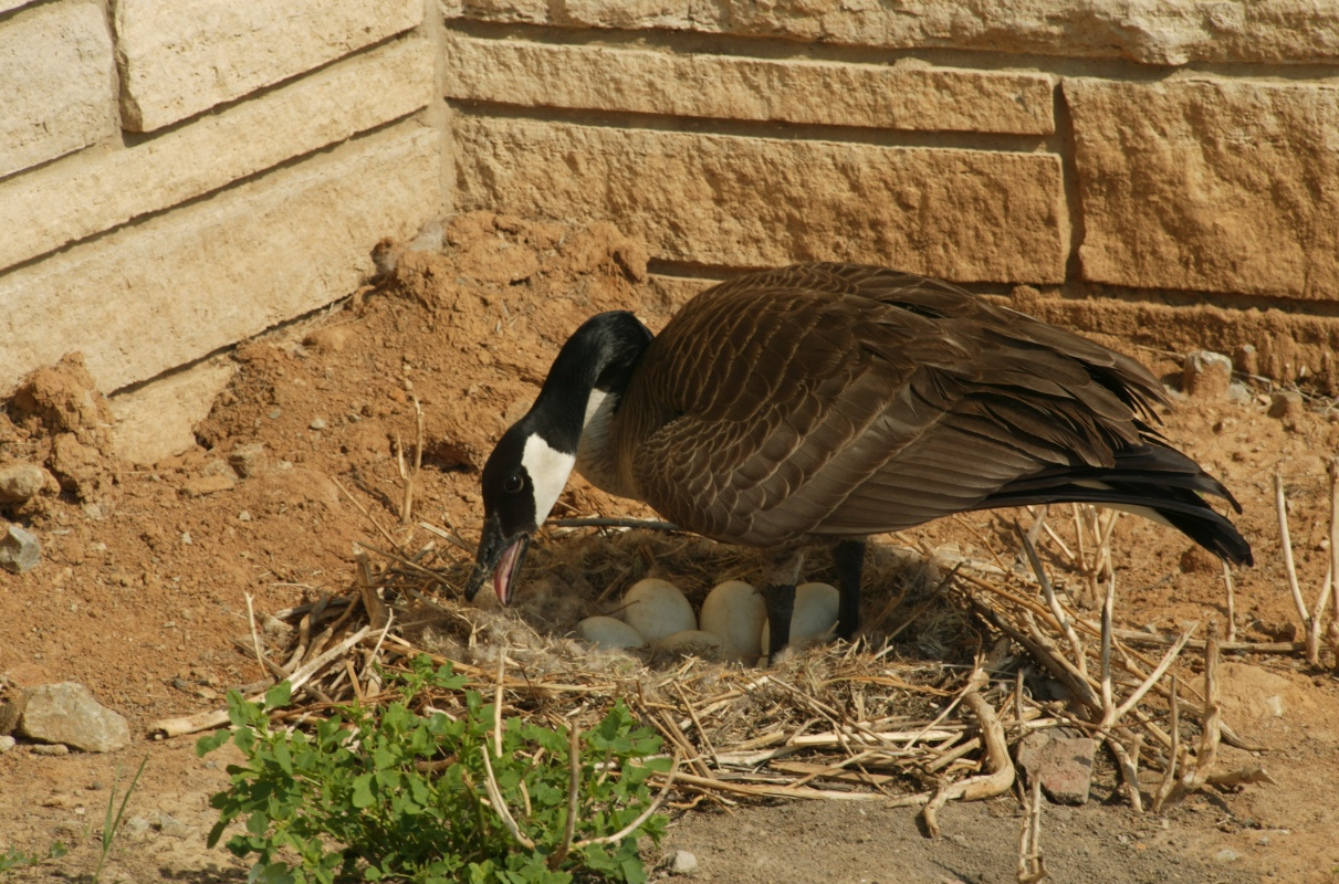 Canada geese are not shy about building nests in urban environments. This female built her nest next to a building foundation.