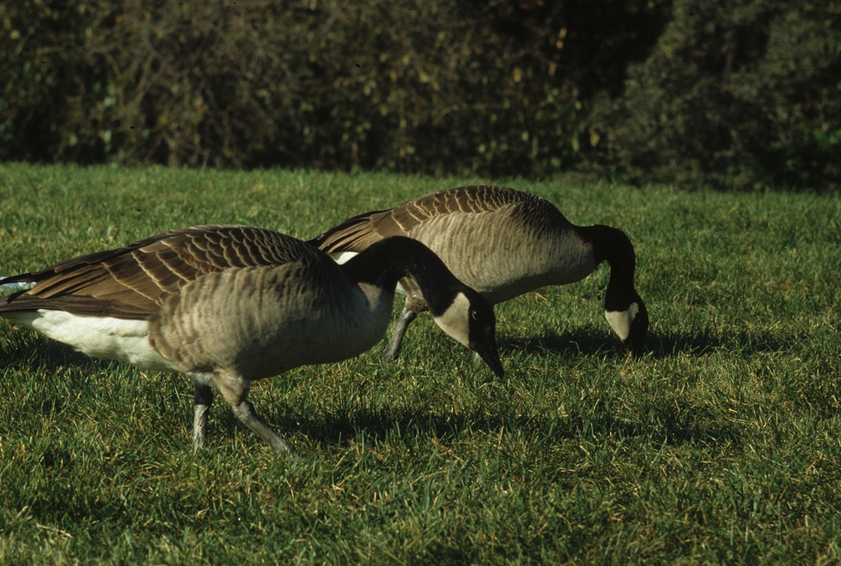 Two Canada geese on a lawn. Canada geese spend several hours every day grazing.