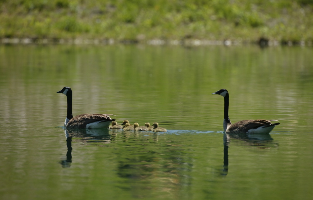 Two Canada geese on the water with their young. Adult geese can be very protective of their young. Keep a safe distance away.