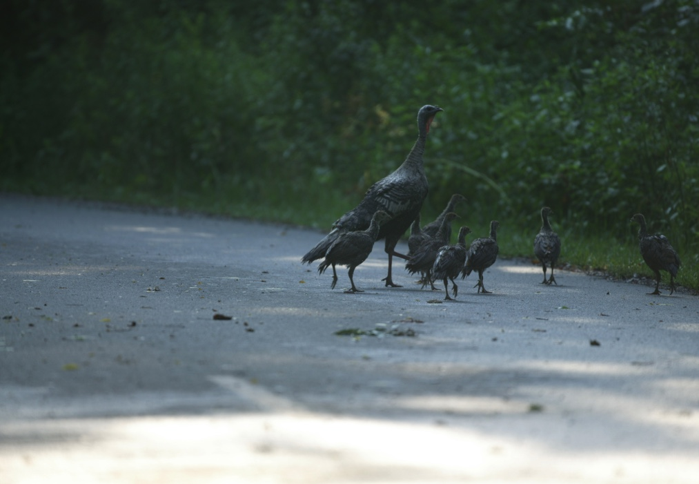 A turkey hen crossing a road with her poults (young).