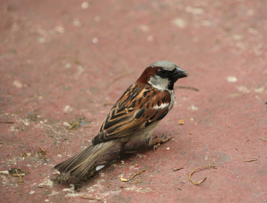 Male house sparrows are easy to identify by their gray cap and cheeks and black bib.