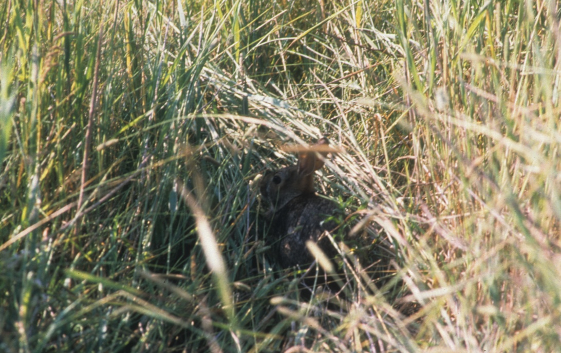 Young rabbit resting in tall grass.