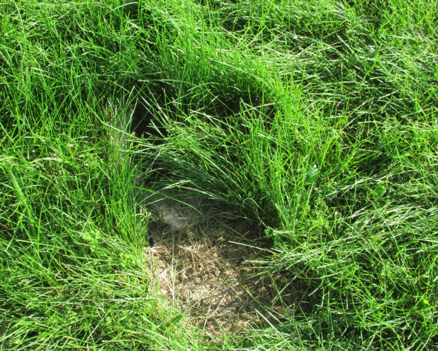 A rabbit digs a hole in the ground, lines the hole with grass and fur, and covers the top with clipped grass. Often there is a small patch of soil at the front of the nest from the excavation.