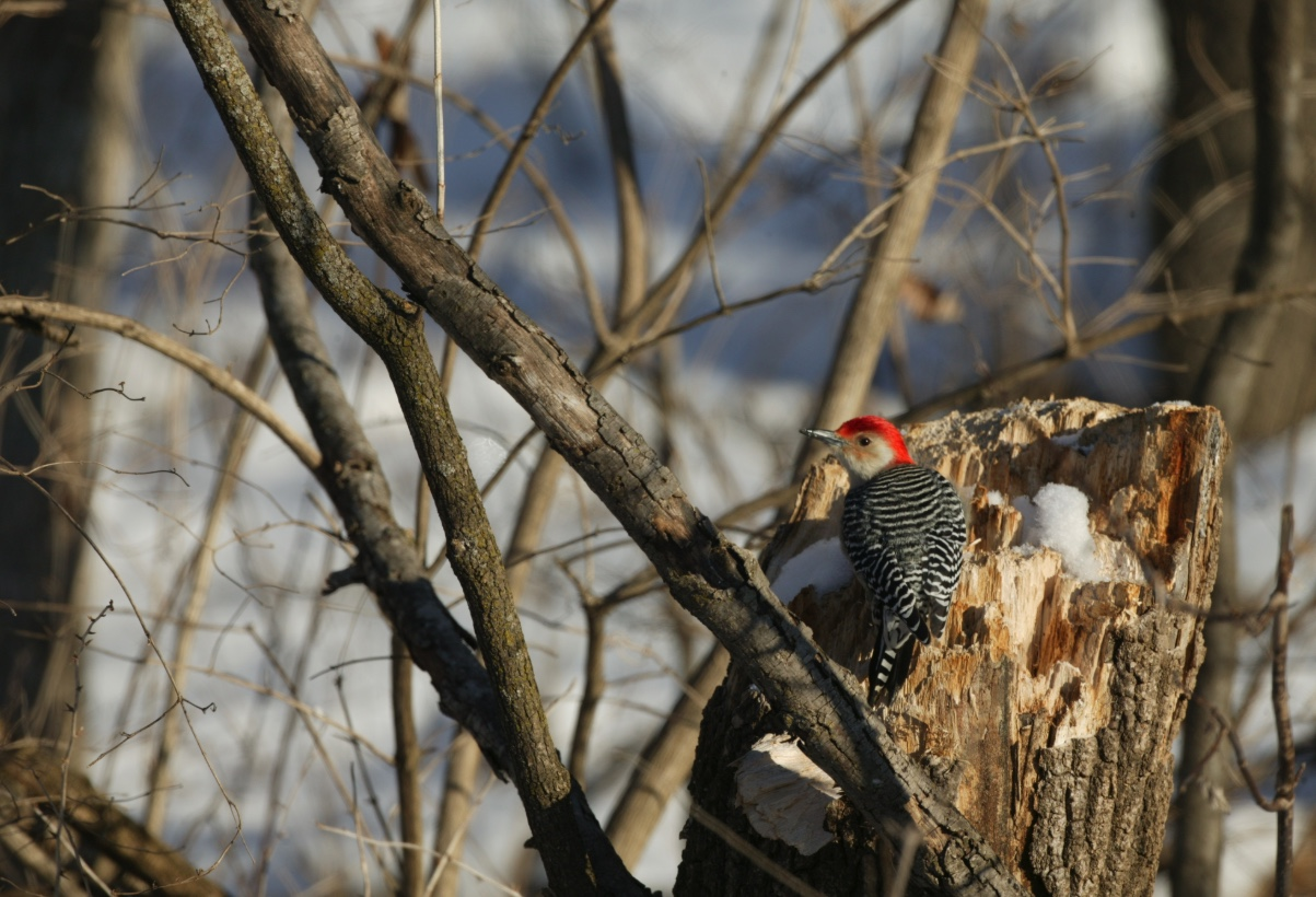 Red-bellied woodpeckers can be identified by their striped back and the red cap on their heads.