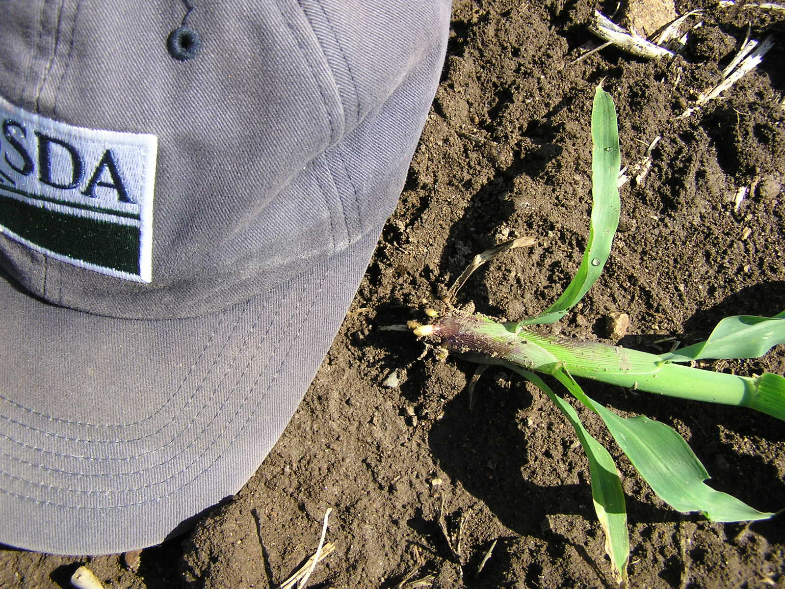 Cranes will pull out seedlings to eat the seed and leave the stalk and leaves.