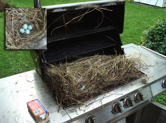 European starlings nested inside this unused gas grill while the lid was closed.