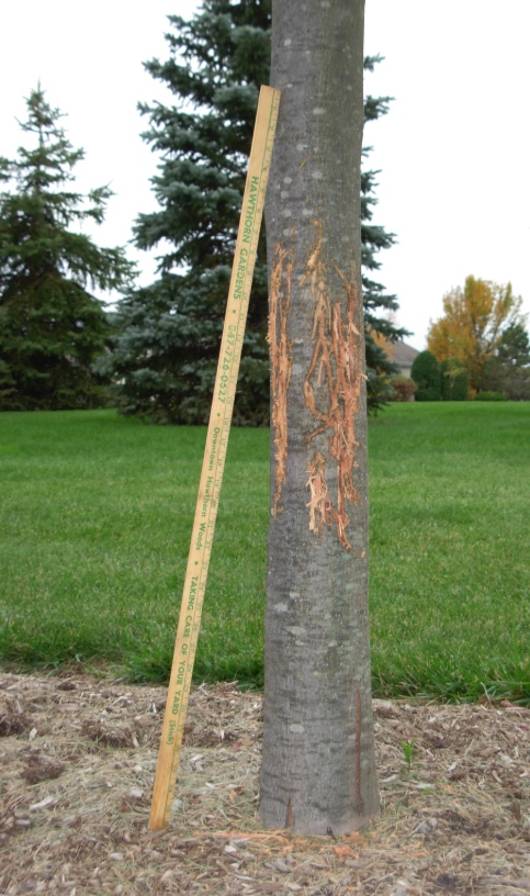 When deer rub their antlers against tree to get rid of their velvet, they can cause damage to the tree. The bark may look shredded. Note the measuring stick for scale.