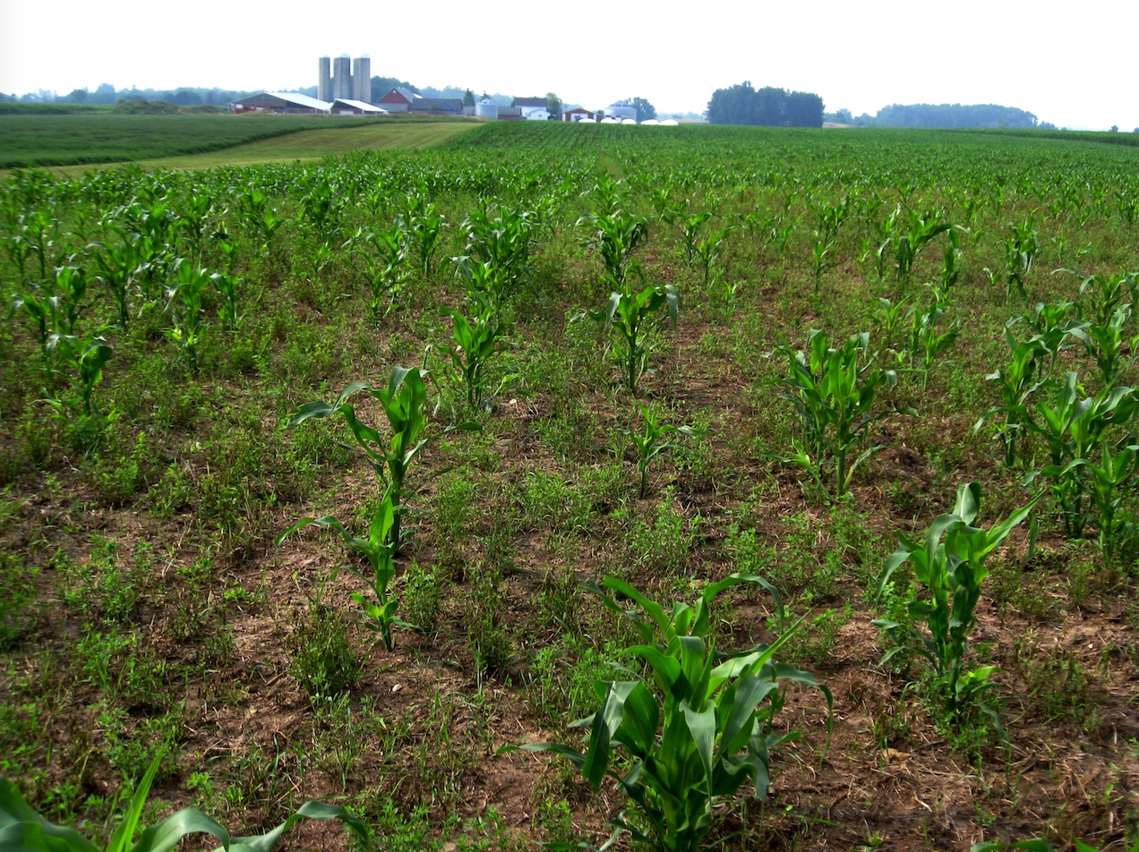 Damage to corn field caused by sandhill cranes.