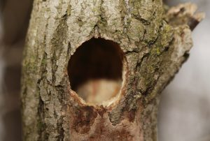 Woodpeckers are cavity nesters and drill holes to access the interior of the tree.