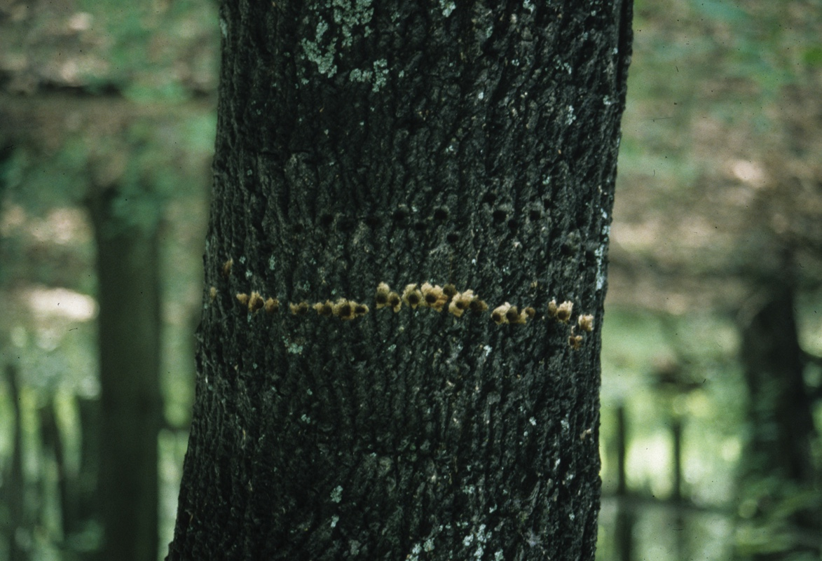 Yellow-bellied sapsuckers drill rows of holes in trees. They come back to favorite trees. Notice the freshly drilled holes below a row of older holes.