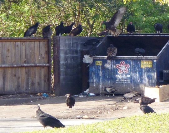 Open dumpsters readily attract groups of vultures.