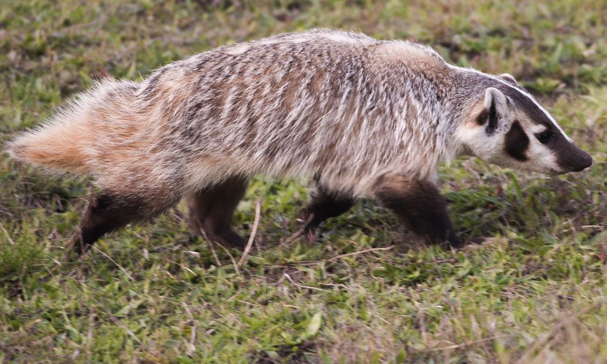American badger walking through grass.