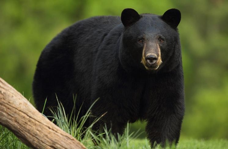 Black Bears - Wildlife Illinois