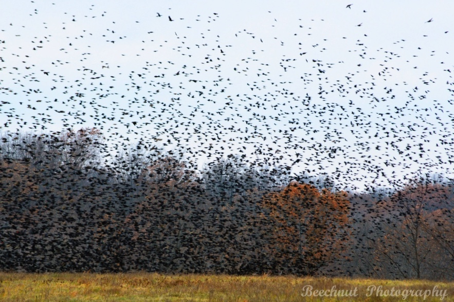 A large flock of blackbirds.