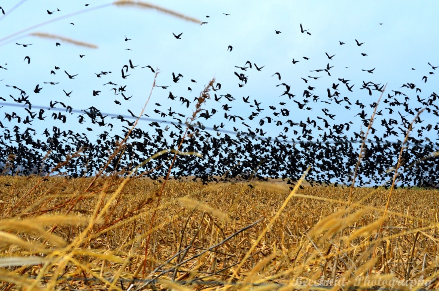 Flock of blackbirds over an agriculture field.