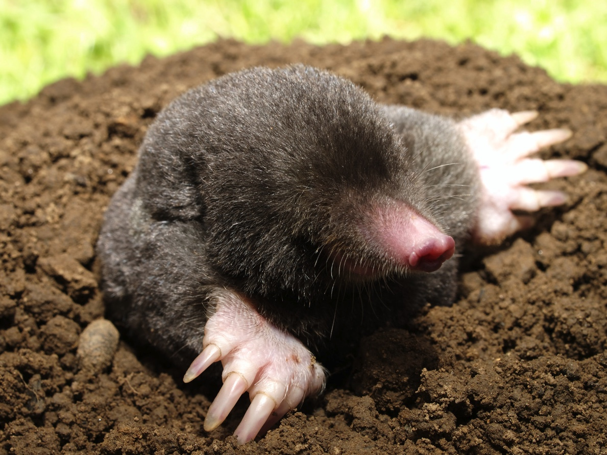 An Eastern mole coming out of its burrow.