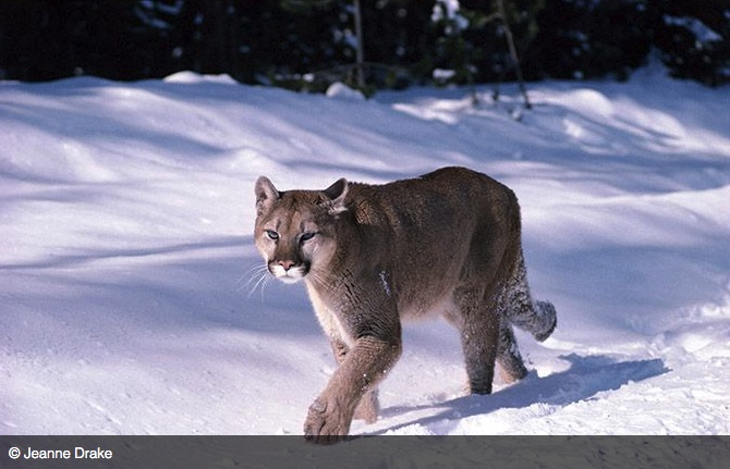 Mountain lion walking in the snow.