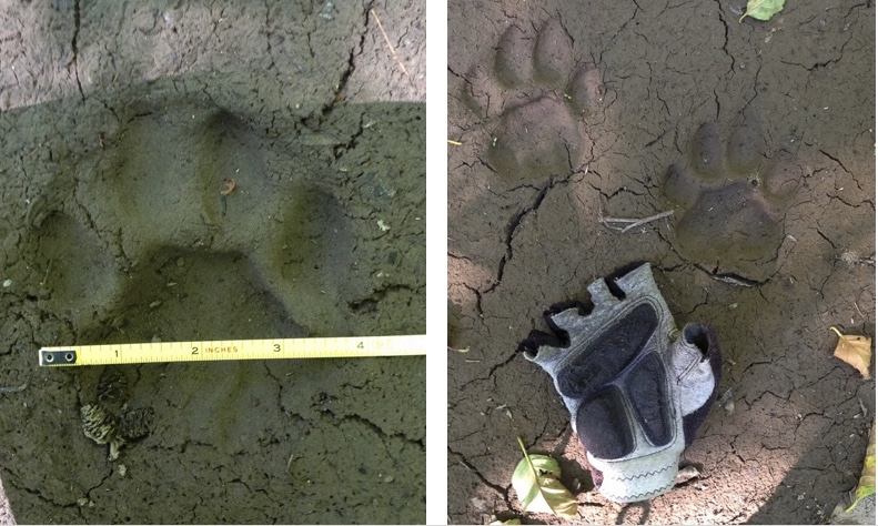 Photos of cougar tracks.