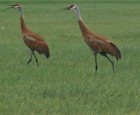 Sandhill cranes are tall birds with a red cap, white cheek patch and gray feathers that sometimes take on a rusty color.