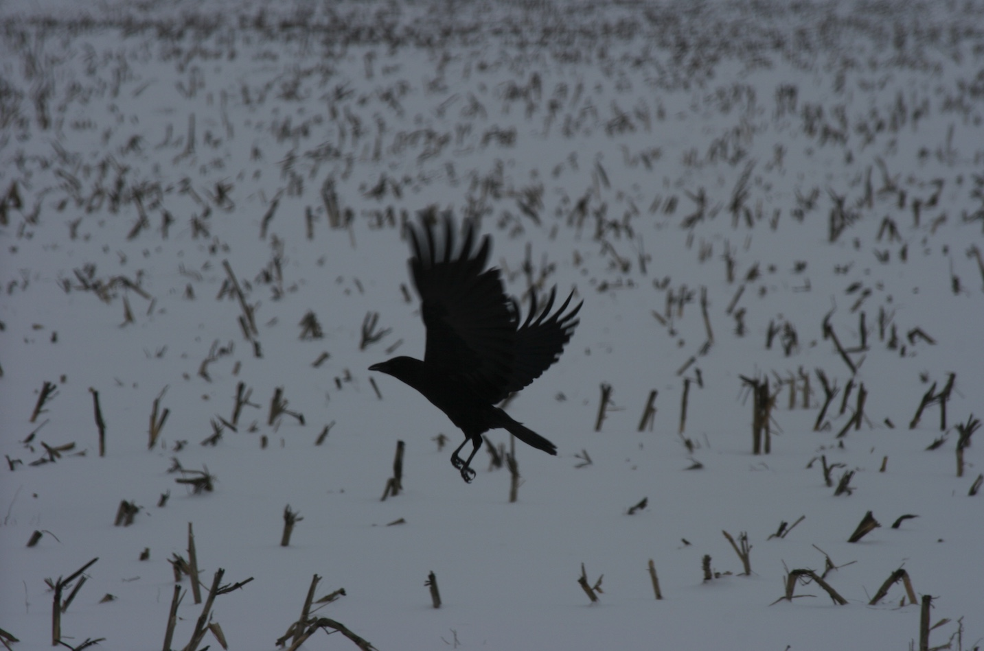 American crow taking off from a winter corn field.