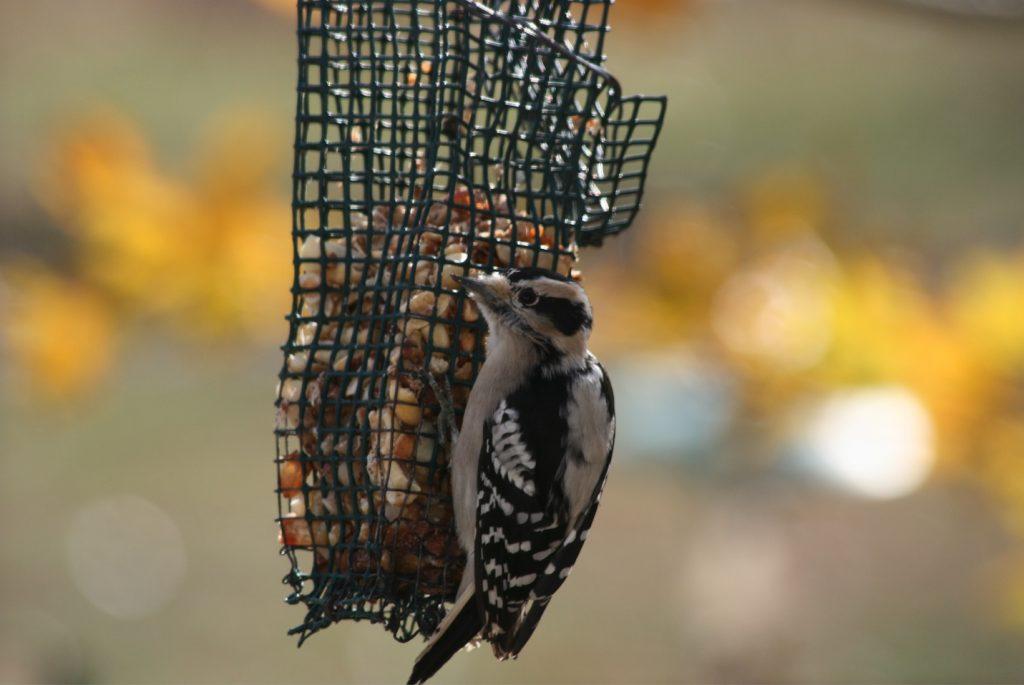 Downy woodpecker feeding at bird feeder.