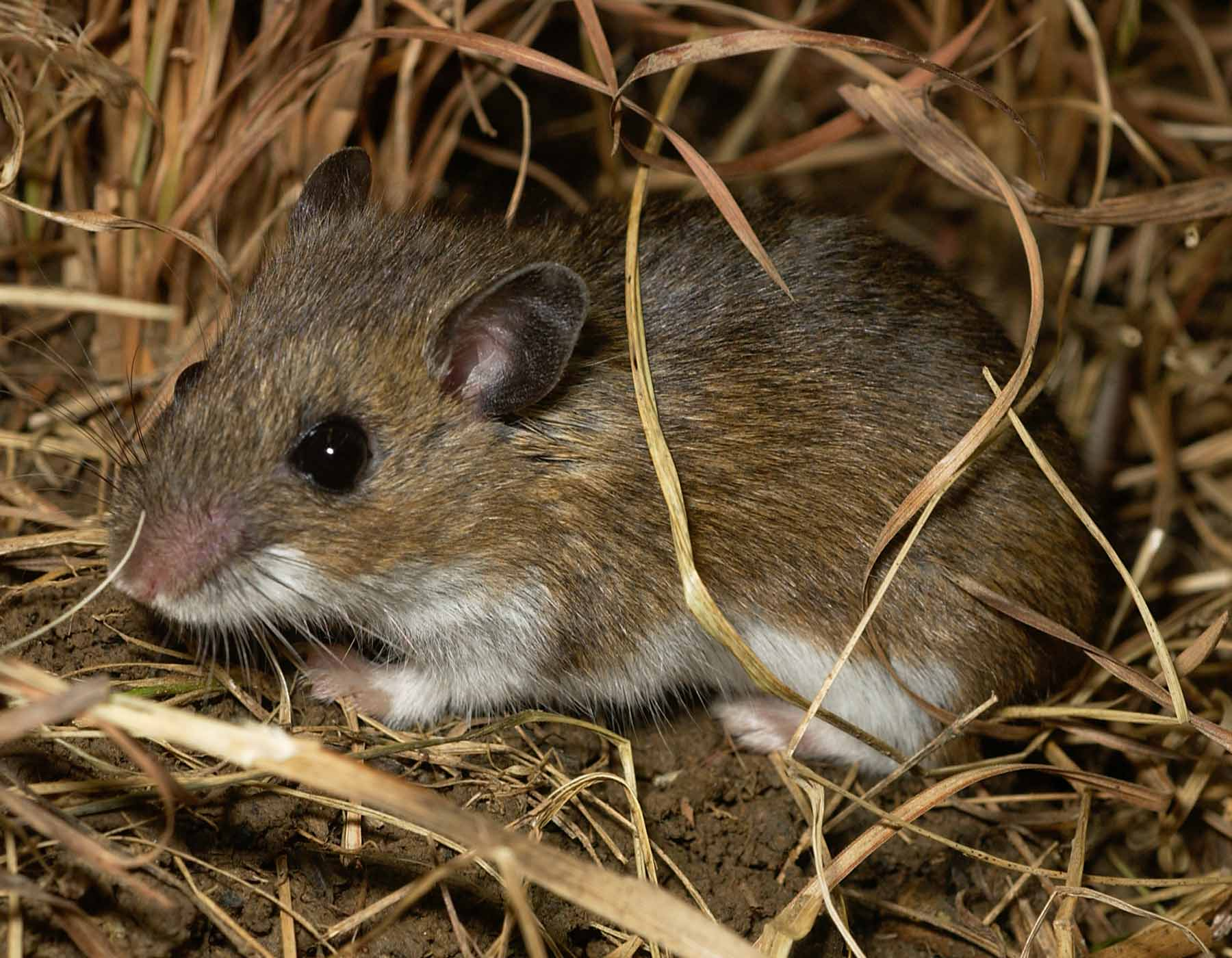 Rats and Mice – Wildlife Illinois