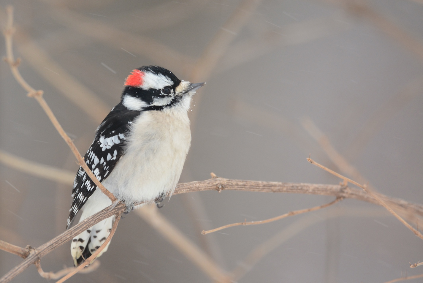 The red patch of feathers on the back of the head identifies this as a male Downy woodpecker.