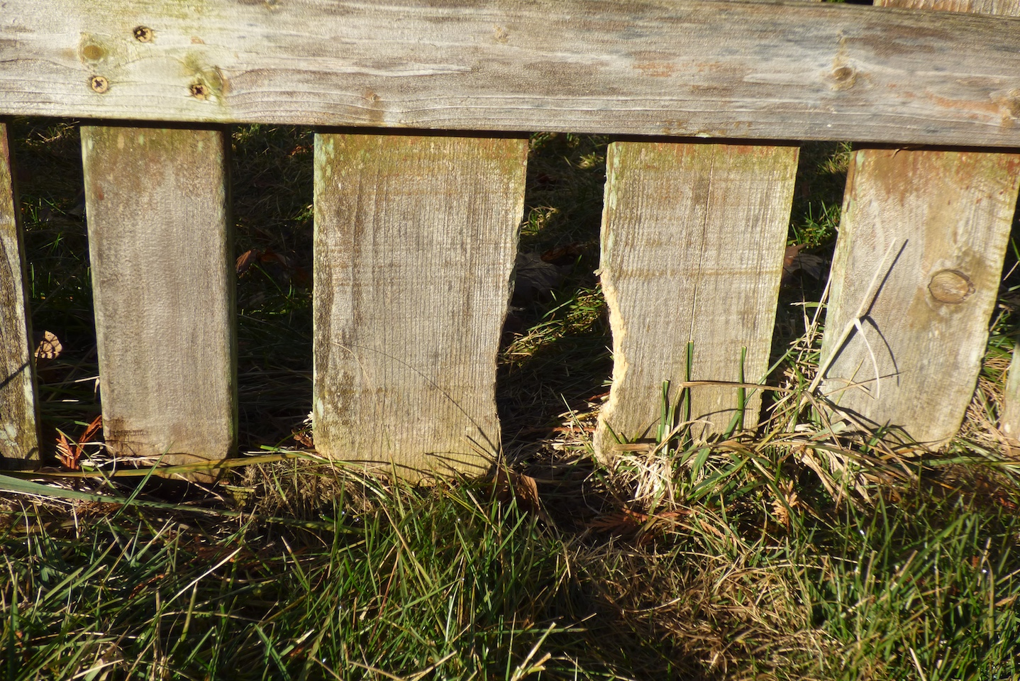 Rabbits teeth grow quickly so they chew on wood to help wear their teeth down. Here the rabbit has been gnawing on a wooden fence.