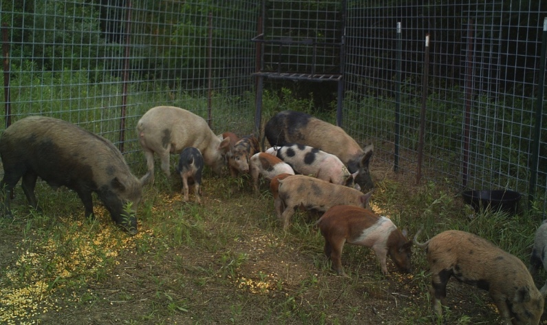 Feral swine caught in a pen.
