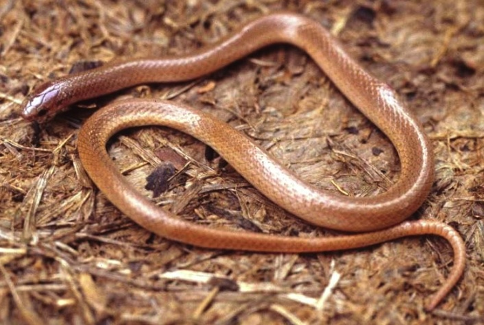 Flat-headed Snake