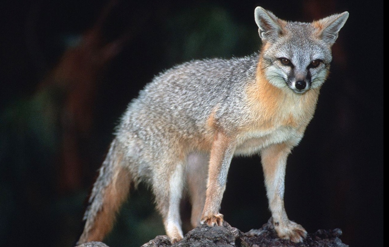 Gray fox standing on rocks.