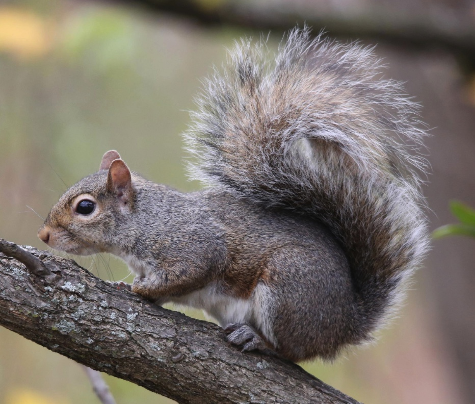 Eastern gray squirrel sitting on a tree branch.