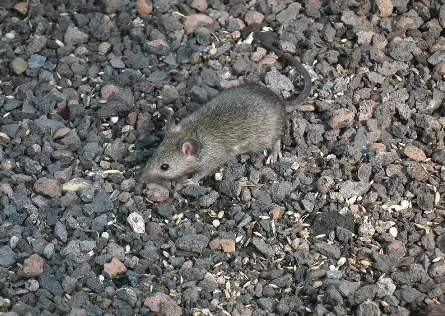 House mouse looking for seeds on gray rocks.