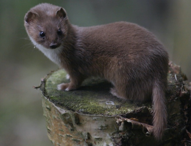 Least weasel. Note the short tail.