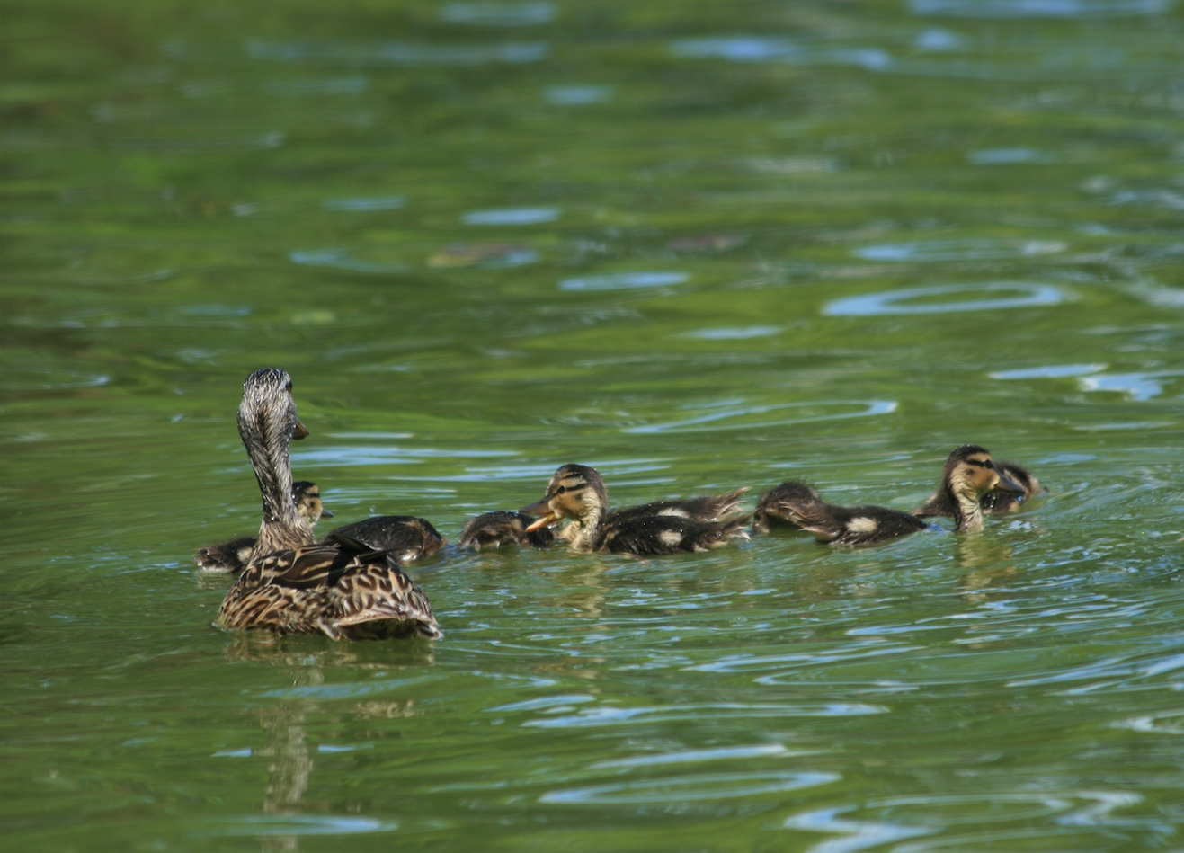 A female mallard with her young.