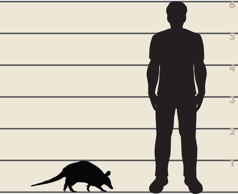 Man and armadillo illustration