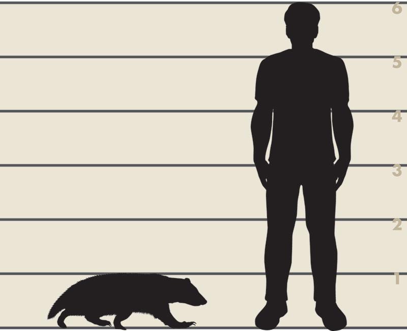 Man and badger illustration