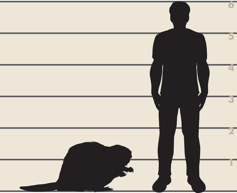Man and American beaver illustration
