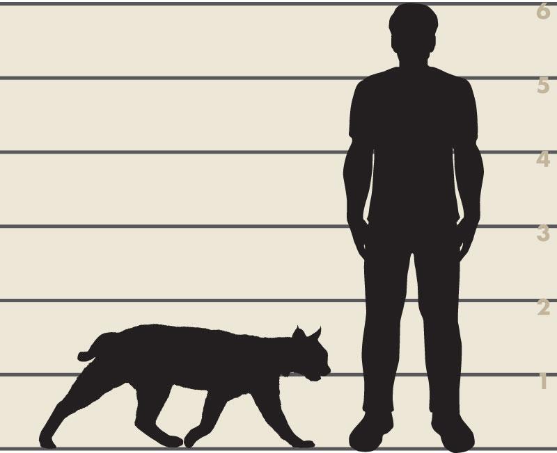 Man and bobcat illustration