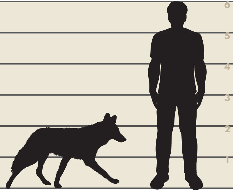 Man and coyote illustration