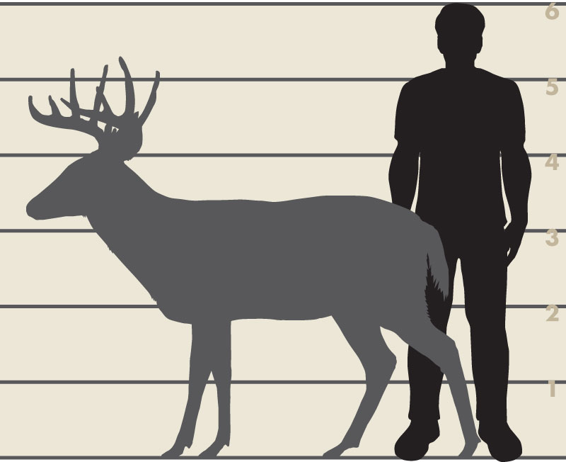 Man and white-tailed deer illsutration