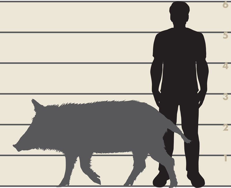 Man and feral swine illustration
