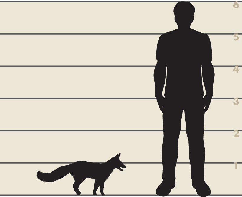 Man and gray fox illustration