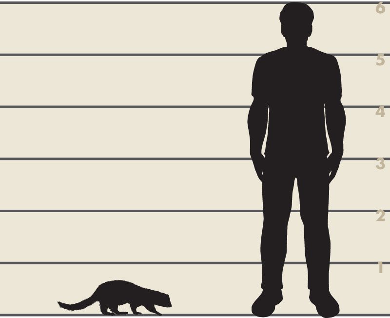 Man and American mink illustration